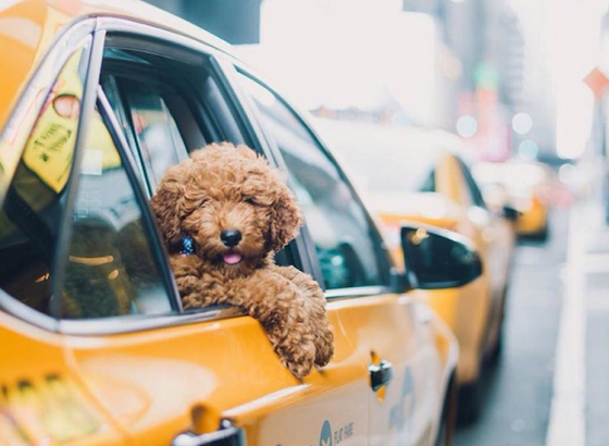Pet cabs for the first time in the City of Joy