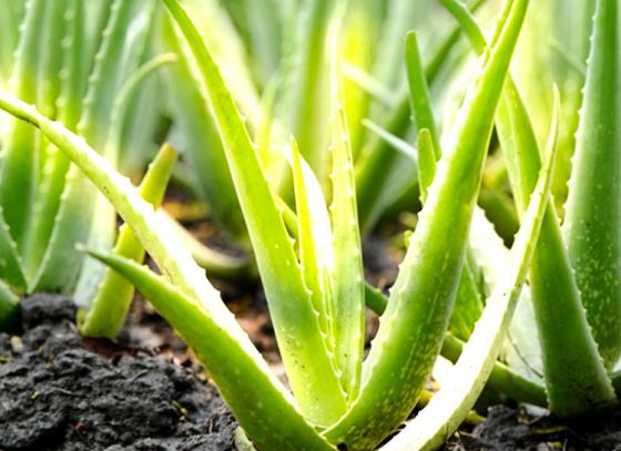 The Magical Aloe !